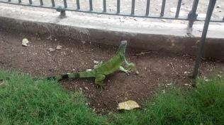 At the iguana park
