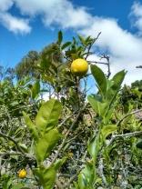 1 Turucu Orchard 1